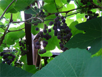 Виноград в Пскове.